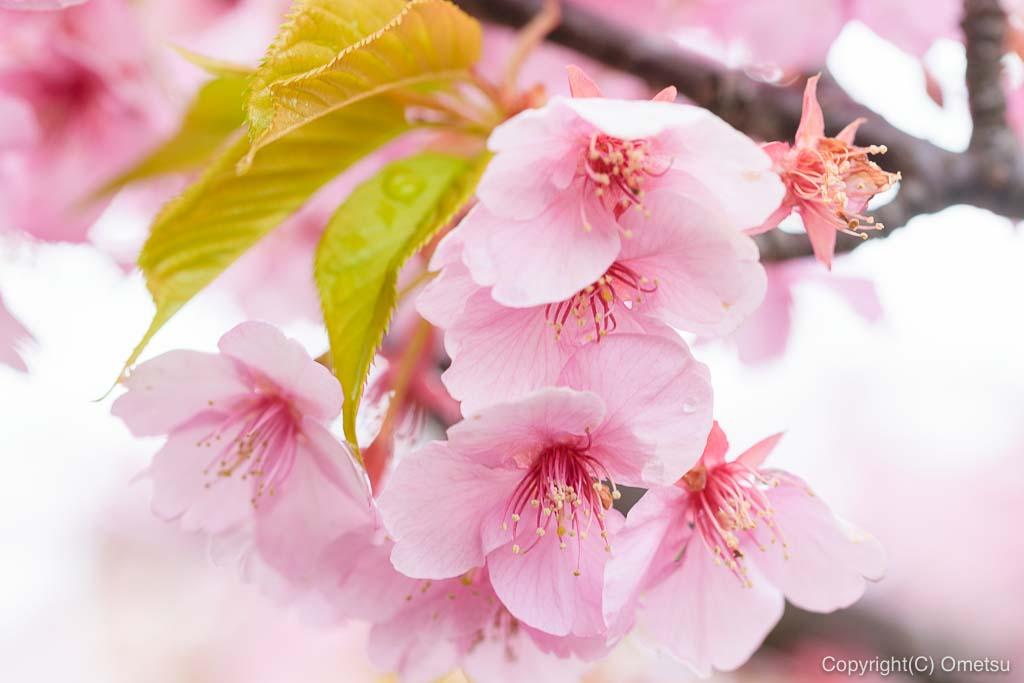 青梅市・わかぐさ公園の、河津桜