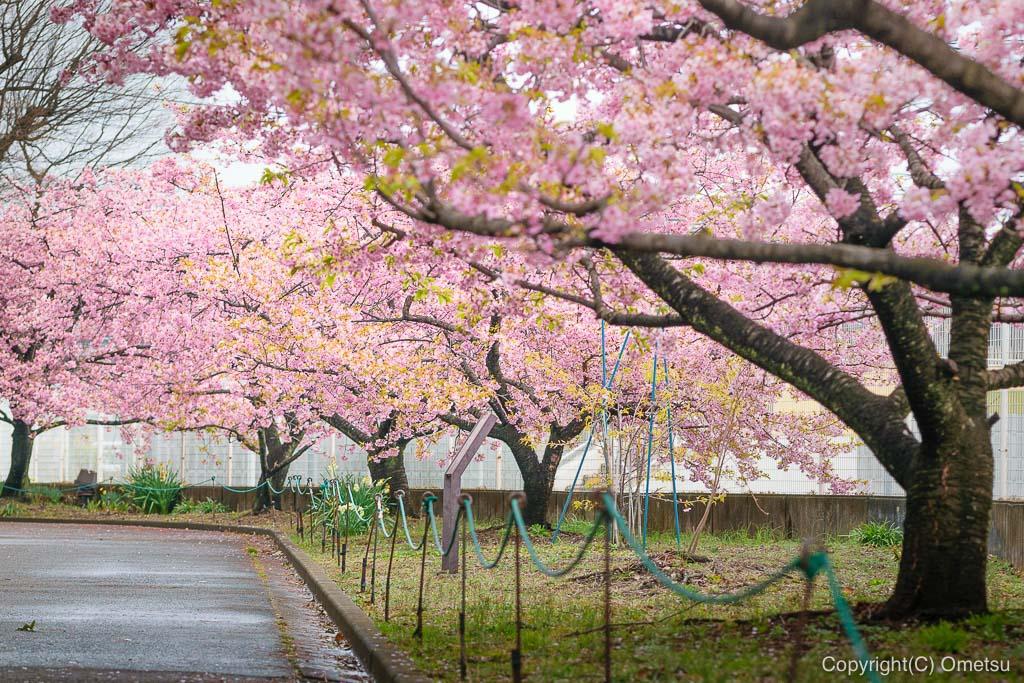 青梅市・わかぐさ公園の、河津桜の並木