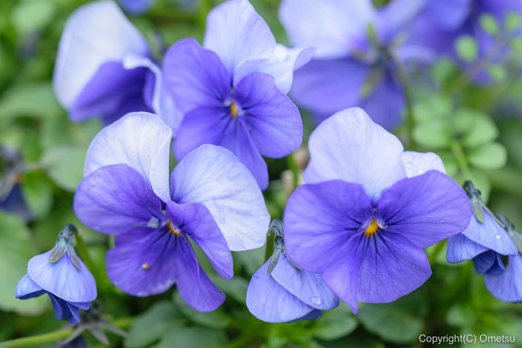 青梅市・わかぐさ公園の、花壇の花