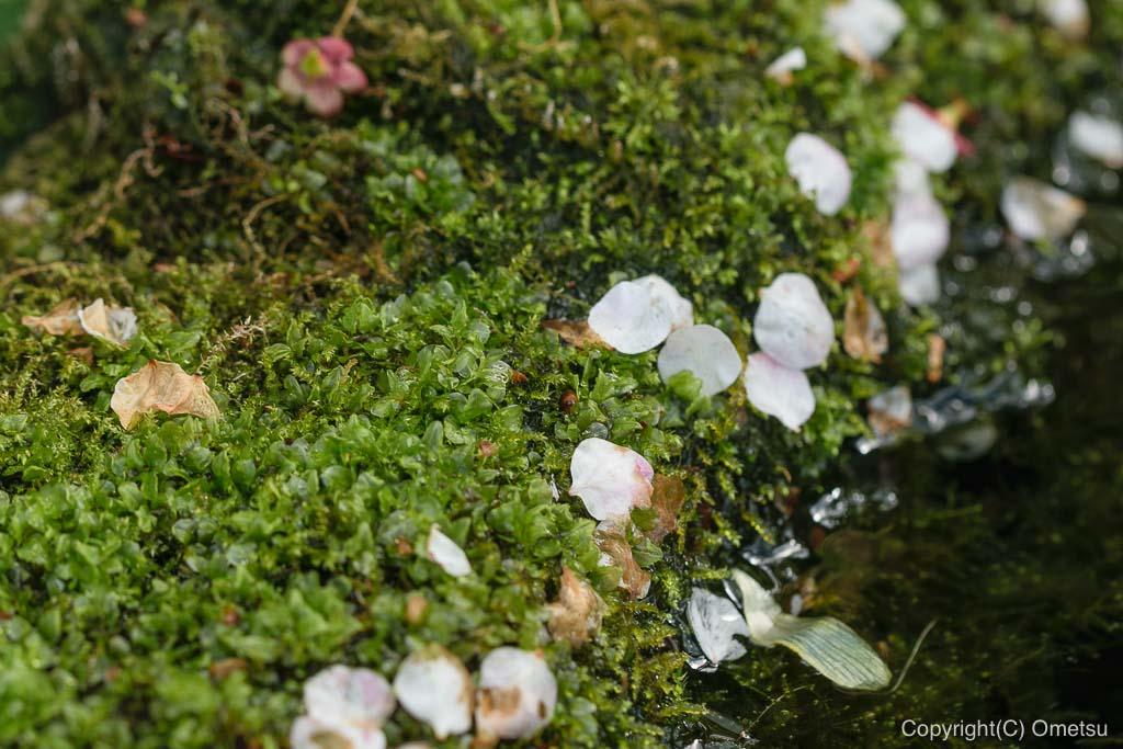 青梅・地蔵院の、梅が散る