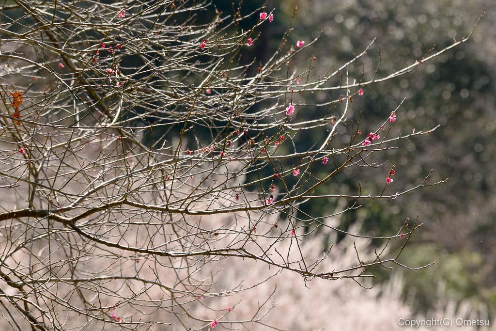 あきる野市郊外の小峰公園の梅