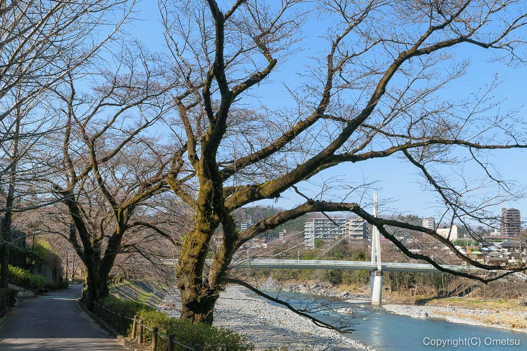 青梅・釜の淵公園 の、ソメイヨシノ