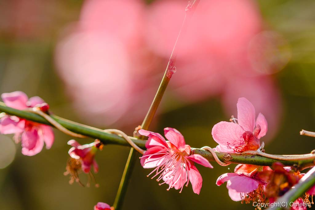 あきる野・高尾公園の梅