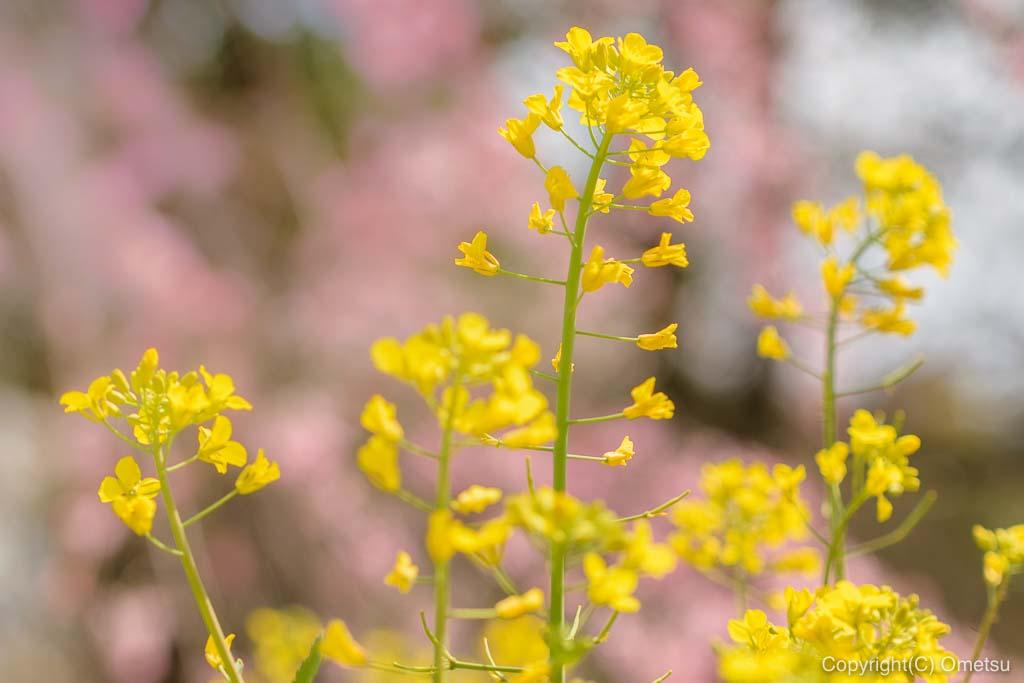 みずほエコパークの、菜の花