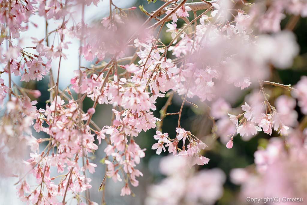 みずほエコパークのしだれ桜