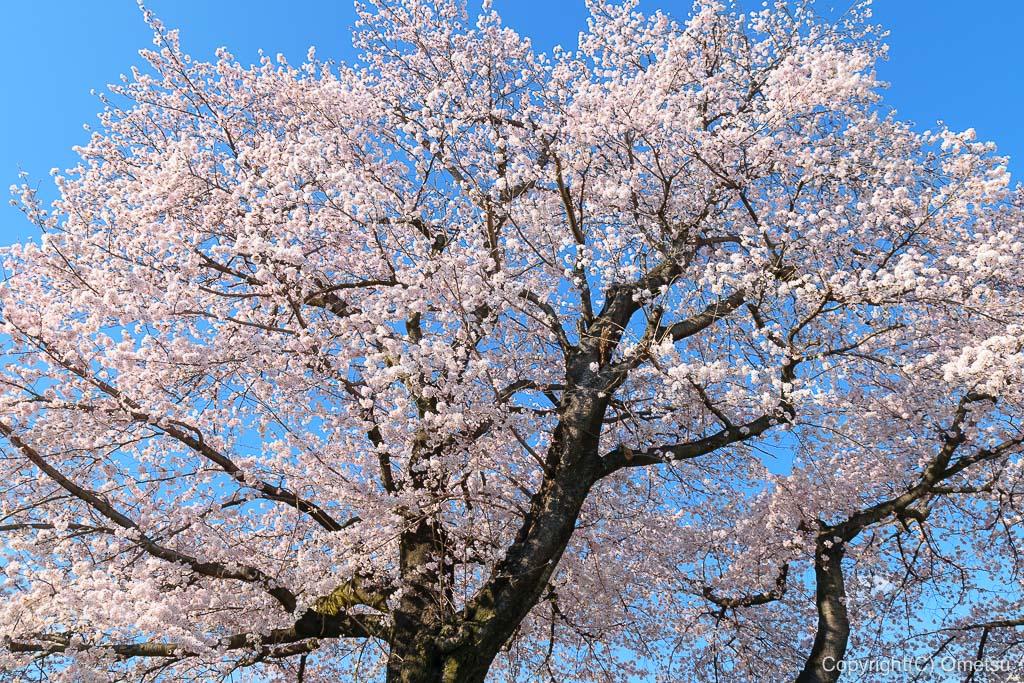 青梅市立 霞台小学校の桜