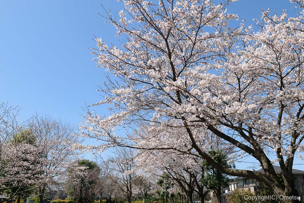 白はけ緑地の桜