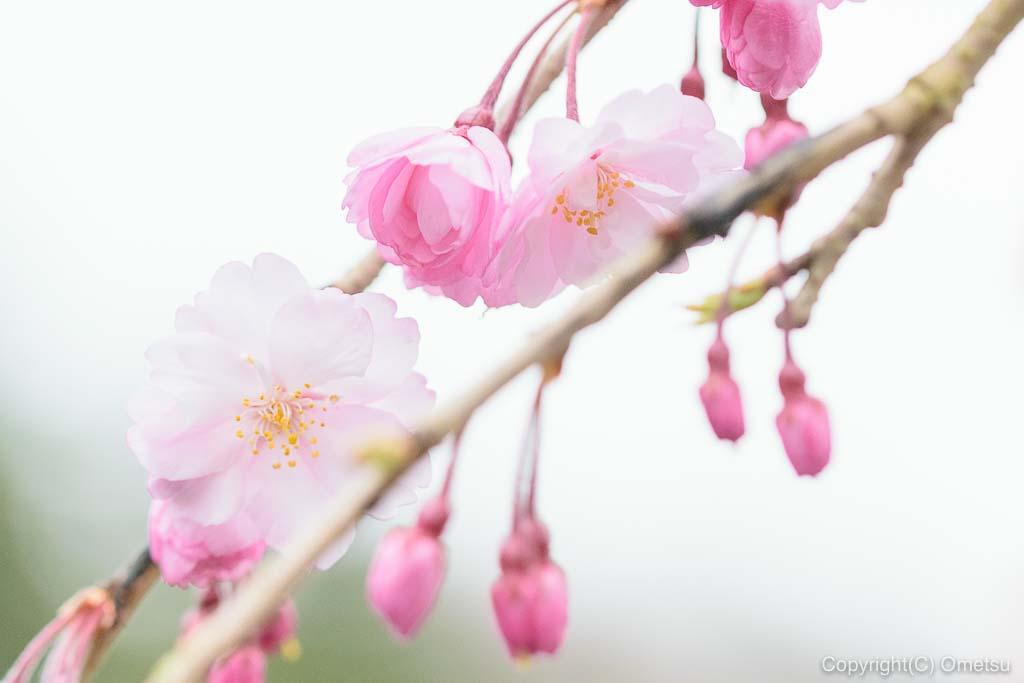 青梅・梅岩寺のしだれ桜のアップ