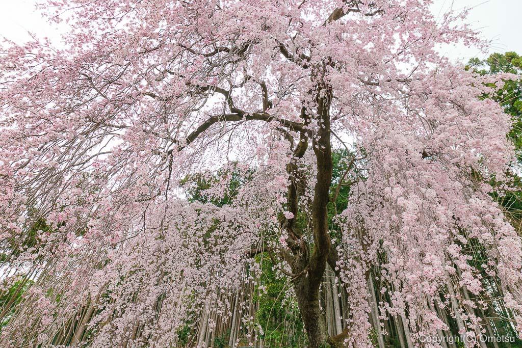 青梅・梅岩寺のしだれ桜