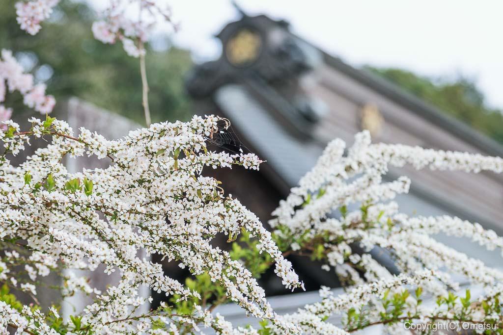 青梅・梅岩寺のユキヤナギ