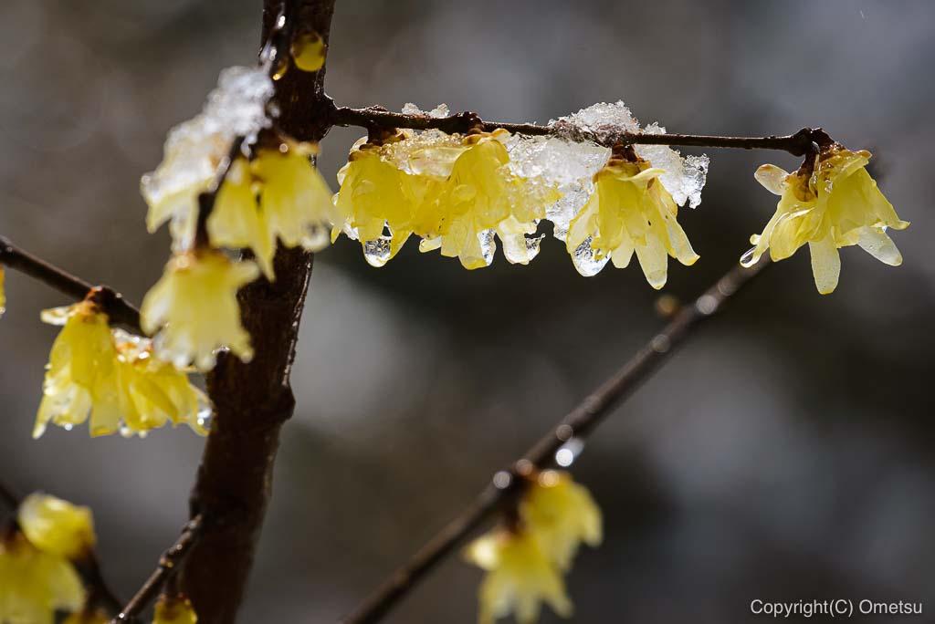 青梅市・御岳山の、雪が積もるロウバイ