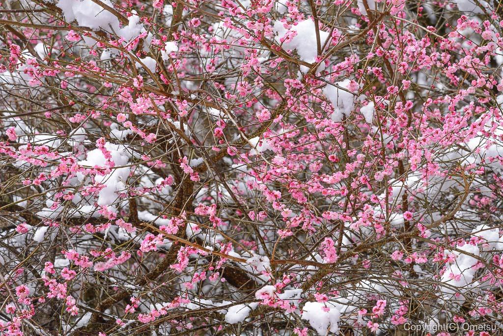 青梅市・御岳山の、雪が積もる梅