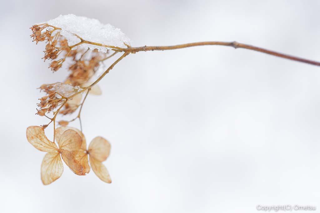 青梅市・御岳山、雪のロックガーデンの、枯れた紫陽花