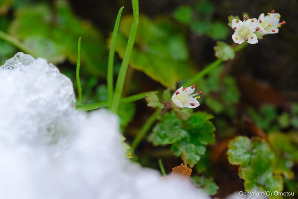 青梅市・御岳山、雪のロックガーデンの、ネコノメソウ
