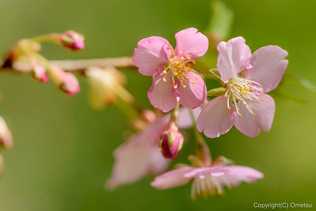 あきる野市・大悲願寺の、早咲きの桜