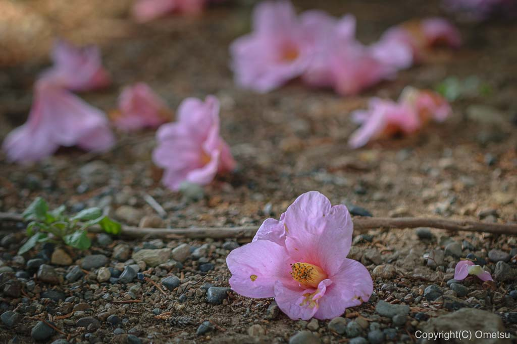 あきる野市・大悲願寺の、椿の花散らし