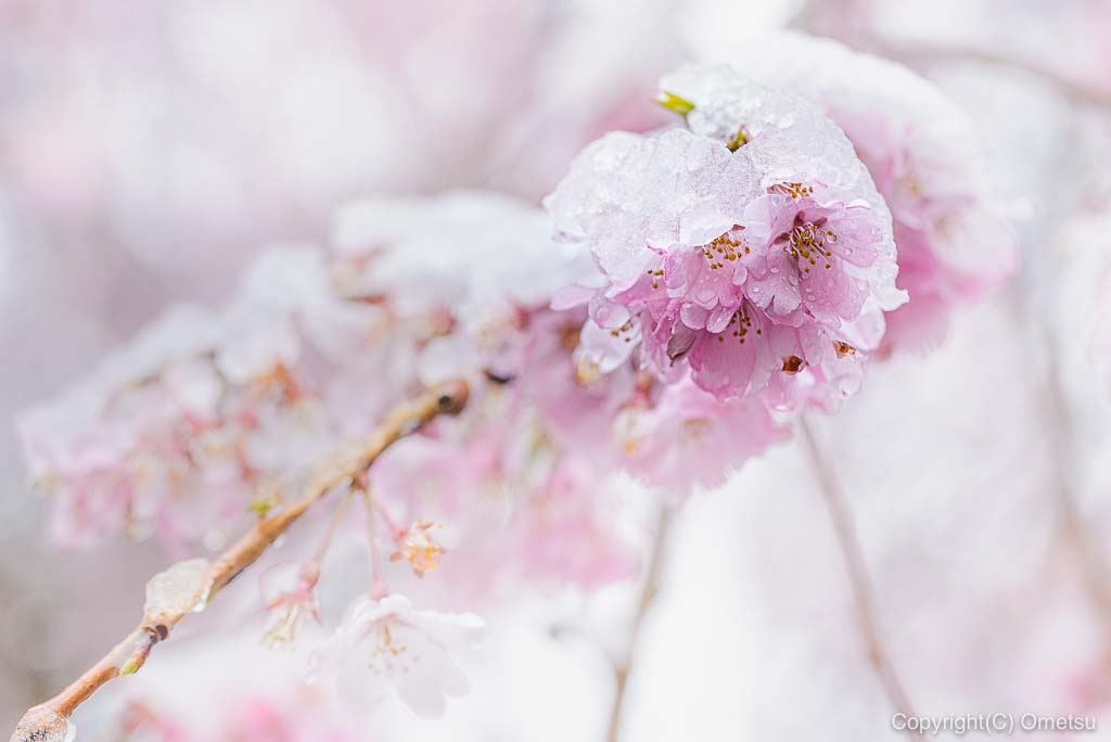 青梅・梅岩寺の桜と雪