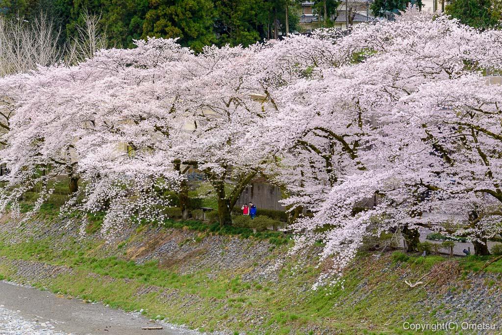 釜の淵公園の桜とカップル