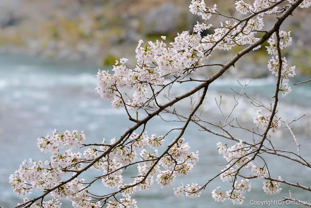 釜の淵公園の桜と多摩川