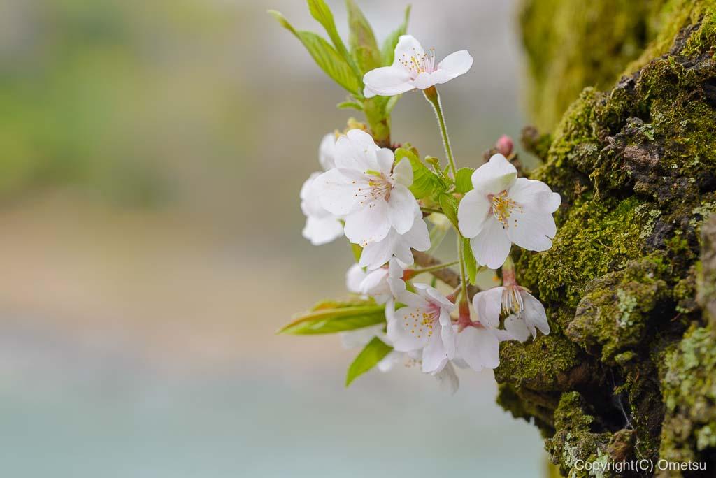 釜の淵公園の老木の桜