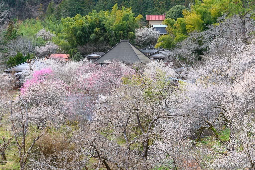 あきる野市・徳雲院の、境内の梅