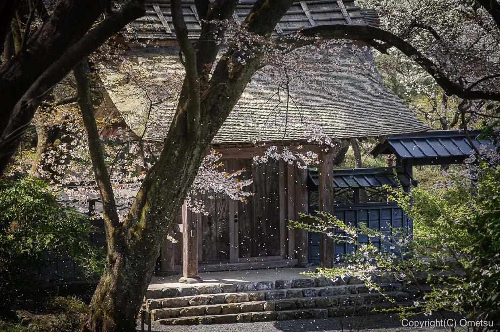 あきる野市・広徳寺の桜