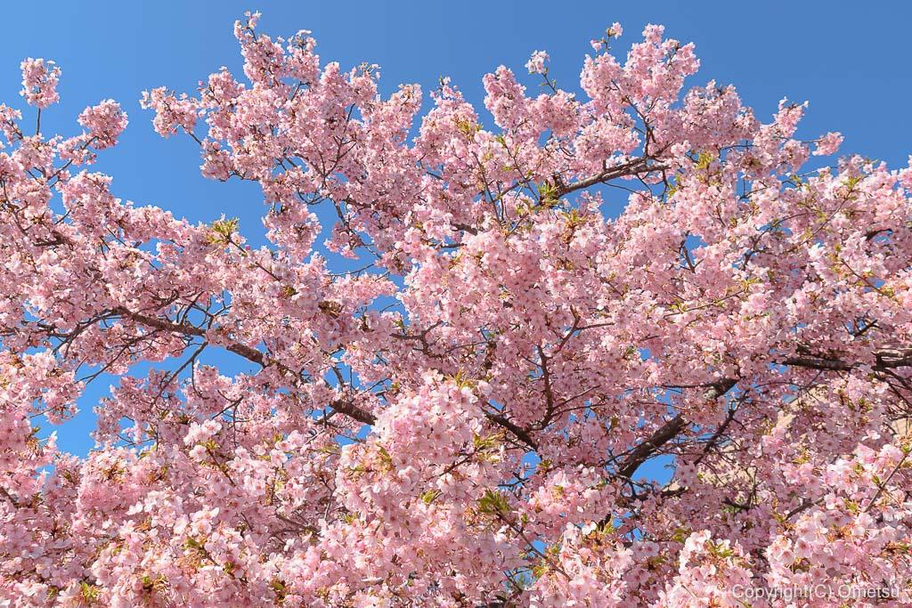 青梅市・天ヶ瀬の金剛寺の、河津桜