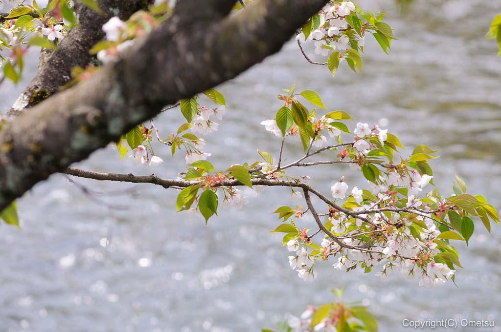 あきる野市・五日市近辺の桜