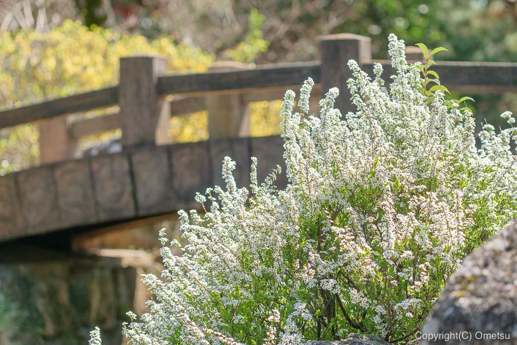 狭山池公園のユキヤナギ