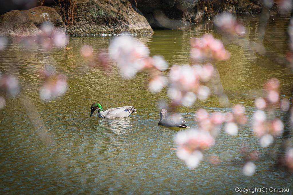 狭山池公園の鳥