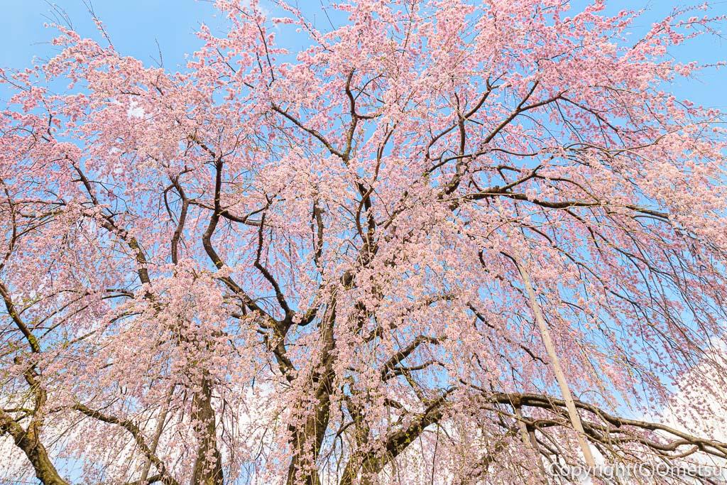瑞穂町のみずほエコパークのしだれ桜