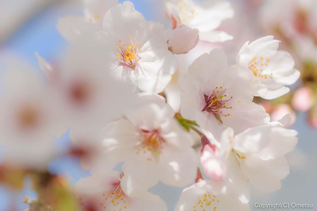 六道山公園の桜