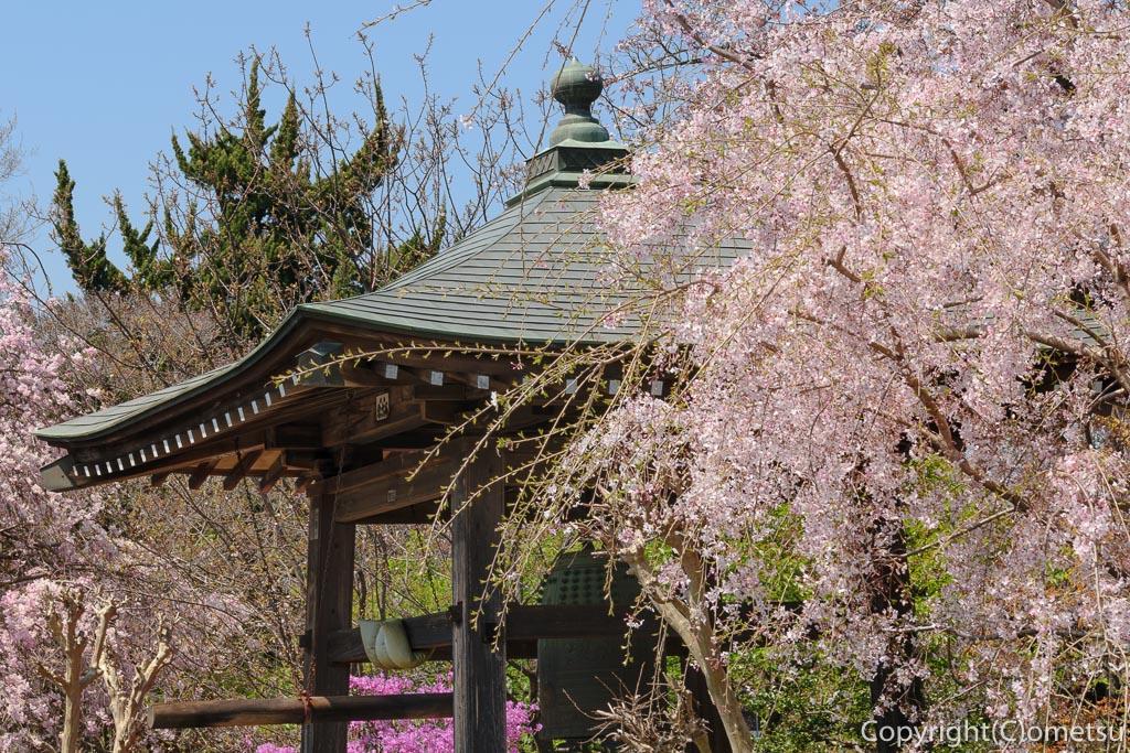 青梅・玉泉寺、しだれ桜の鐘撞き堂