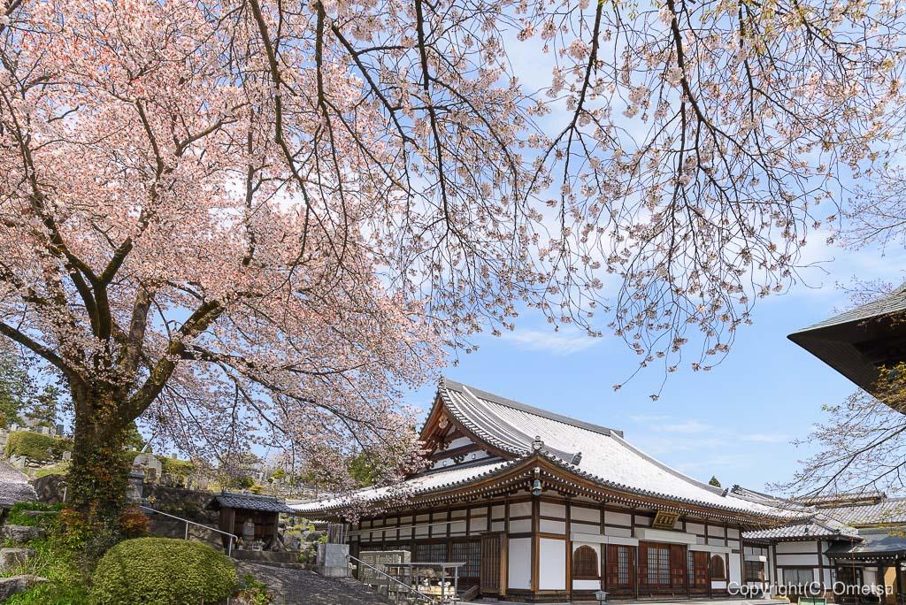 青梅・宗泉寺と桜