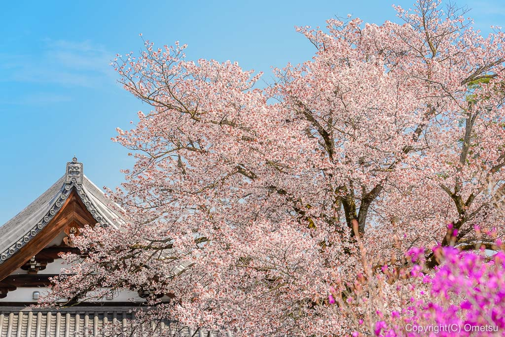 宗泉寺と桜