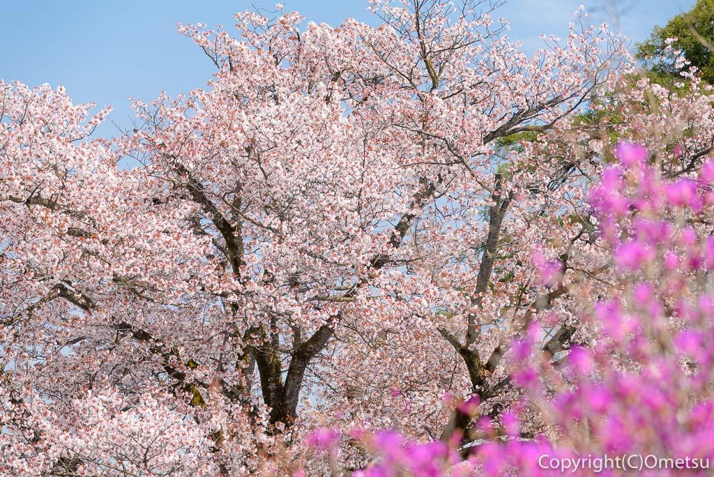 青梅・宗仙寺の桜