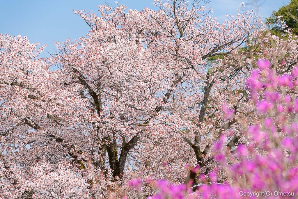 宗泉寺の桜