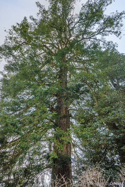 宗泉寺のカヤの木