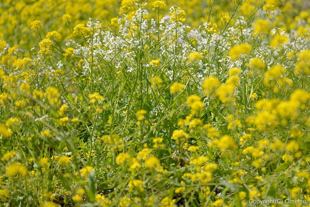 青梅の菜の花畑