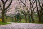 霞丘陵の桜