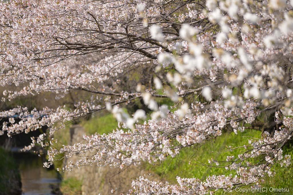 青梅・小曾根の桜