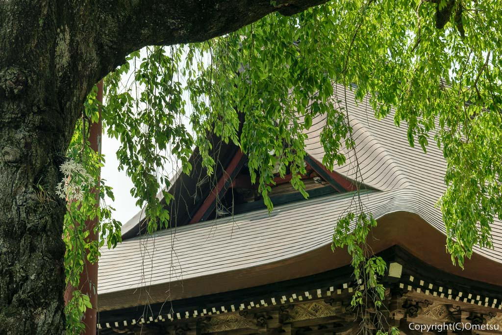 青梅・海禅寺のセッコク