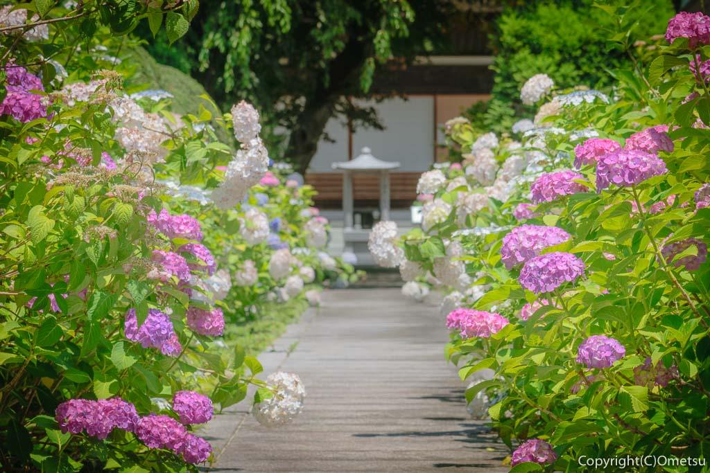あきる野市・地蔵院の参道のアジサイ