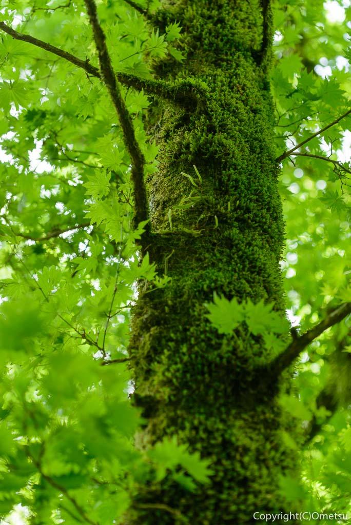 檜原村・三頭山の、苔