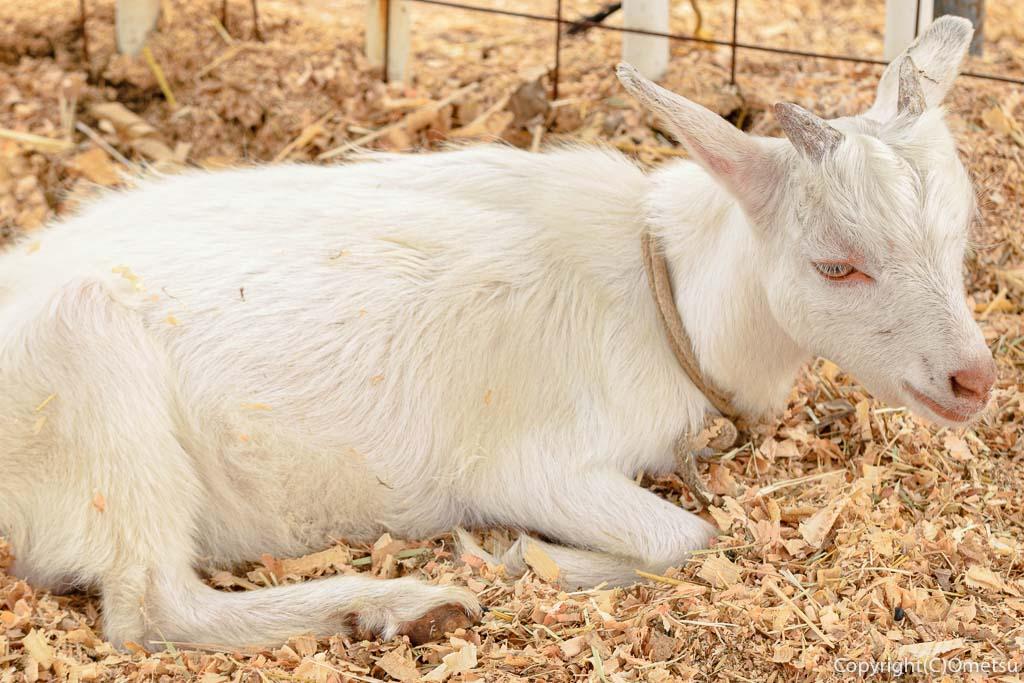 東京都・瑞穂町の、清水牧場の山羊