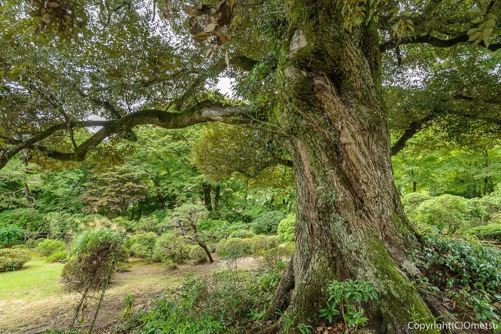 青梅市・吉川英治記念館の樫の木