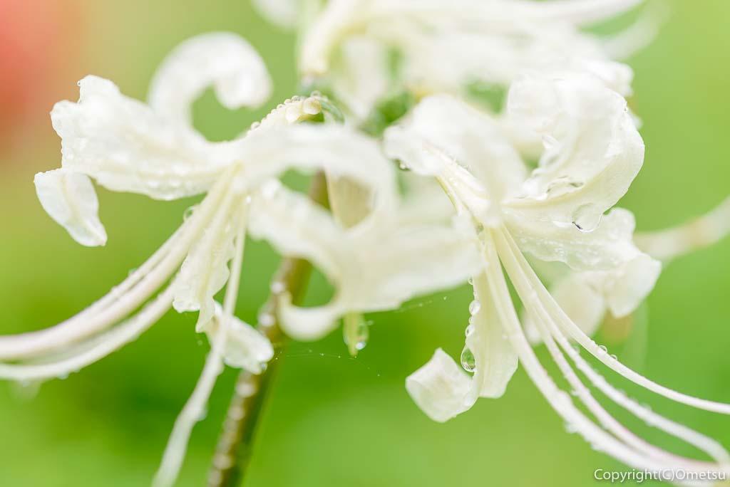 青梅市、霞丘陵自然公園の、白い彼岸花