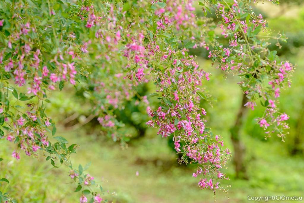 青梅市、霞丘陵自然公園のハギ