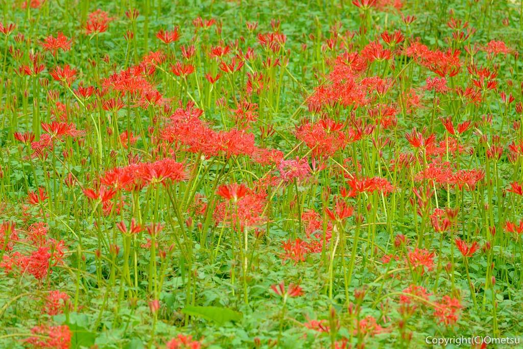 青梅市、霞丘陵自然公園の彼岸花