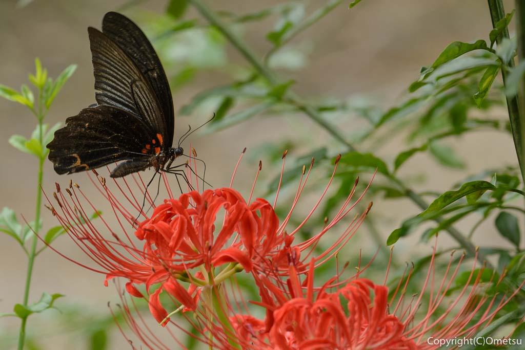 青梅吹上しょうぶ園の、彼岸花と蝶